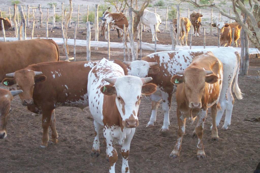 El Gobierno implementa ambicioso plan para el desarrollo bovino