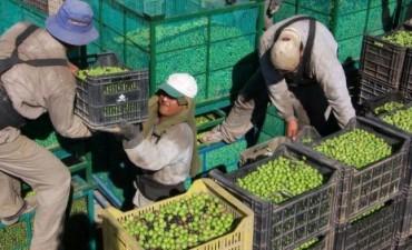 Clúster Olivícola: Se planteó un sombrío panorama para el sector